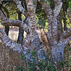 Live oak trunks by David Chesluk