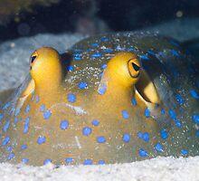 Close up Bluespotted ribbon tail ray by Kenji Ashman