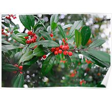 Beautiful Holly Tree with Berries Poster