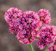 Red Buckwheat by Celeste Mookherjee