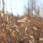 Golden Grass by AbigailJoy