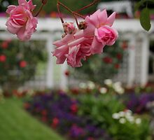 Rose Garden by Camilla