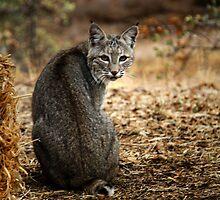 Bobcat Comes Visiting by Corri Gryting Gutzman