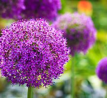 Alliums by Joe Wainwright