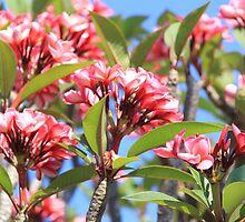 Pink Frangipani Bonanza by Wendy Sinclair