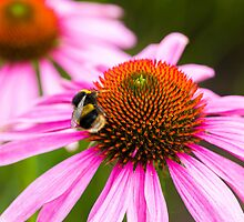 Echinacea purpurea and Bee by Joe Wainwright