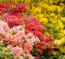 Rhododendrons and Azaleas by Joe Wainwright