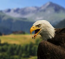 Bald Eagle by Robin Kamp