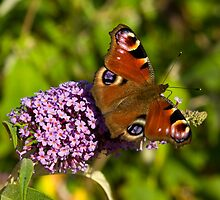 Peacock Butterfly by Kawka