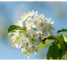 Pin Cherry Blossoms by CindiR