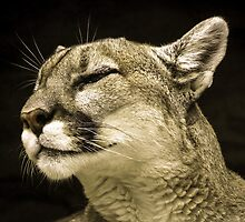 Mountain Lion After Lunch by Craig Forhan