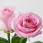 Pale Pink Roses by edesigns14