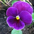 Cute Purple Pansy by BlueMoonRose
