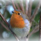 """ Dorset Robin "" (Special Edition Christmas Card) by Richard Couchman"