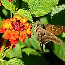LONG TAILED SKIPPER by TomBaumker