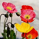 Poppies by Bami