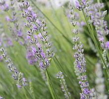 Plant Lavender For Good Luck by Allison Patel