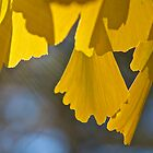Ginkgo Leaves by John Butler