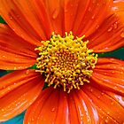 Mexican Sunflower by Debbie Oppermann