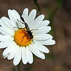 Daisy With Visitor by Debbie Oppermann