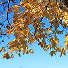 Fall yellow maple leaves in blue sky. landscape photography. by naturematters