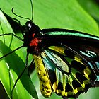 Colors Of The Cairns Birdwing Butterfly by Margaret Saheed
