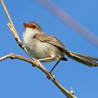 Female Fairy Wren by Kym Bradley