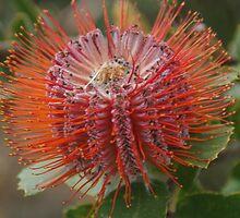 Banksia Coccinea by lezvee