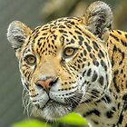 Jaguar by Mark Hughes