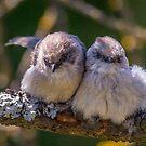 """Snuggling Siblings"" -- Bushtits by Tom Talbott"