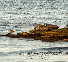 Portgordon Seals by JASPERIMAGE
