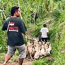 Herding Ducks in Banyuatis by jayneeldred