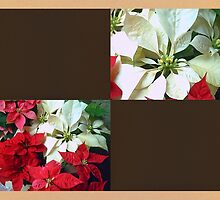Mixed color Poinsettias 1 Blank Q3F0 by Christopher Johnson