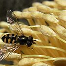 hover fly & banksia by Floralynne