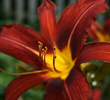 Red and Yellow Day Lily by Gilda Axelrod