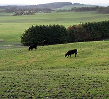Cows on green paddocks at Cape Liptrap by Neroli Wesley