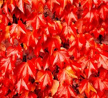 red creeper by peterwey