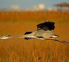 Great Blue Heron (Straight as an Arrow) by imagetj