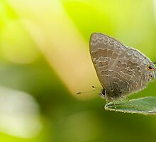 Hairy Lined Blue by NaturalCultural