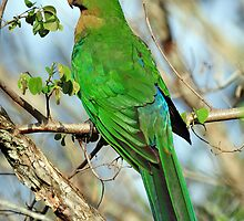 Female King Parrot. Cedar Creek, Queensland, Australia by Ralph de Zilva