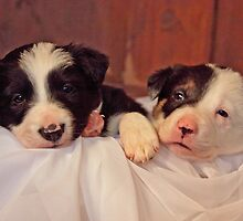 Puppies by Clare Gelderd