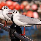 Black-headed Gulls by Susie Peek