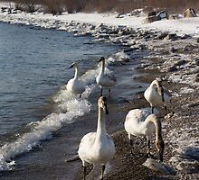 Family Walk on the Beach - Wild Trumpeter Swans, Lake Ontario, Toronto by Georgia Mizuleva