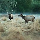 Elks by SandrineBoutry