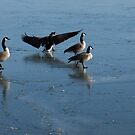 Precarious Walk on the Ice - Canada Geese, Lake Ontario, Toronto by Georgia Mizuleva