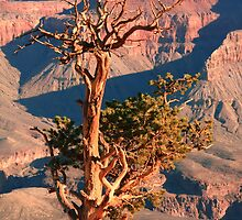 Weatherd old Juniper Tree on the Canyon Rim by Roupen  Baker