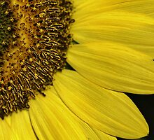 sunflower close up by ANNABEL   S. ALENTON