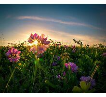 Sunset Through The Purple Vetch Photographic Print