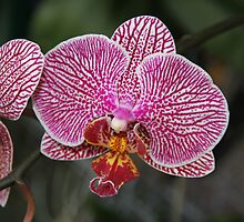 October Orchid by aussiebushstick