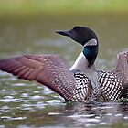 Common Loon - Buck Lake, Ontario by Jim Cumming